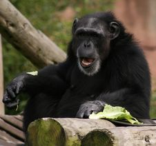 Free Chimpanzee With Lettus Stock Images - 2873994