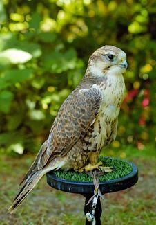 Free Falcon Stock Photos - 2878983