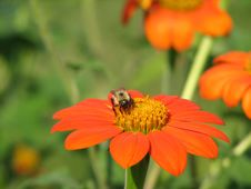Bee, Red Flower Stock Image