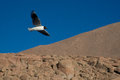 Free Andean Gull In Flight 4 Stock Photo - 28704290