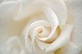 Free White Rose Close Up Royalty Free Stock Image - 28706166