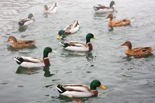 Free Ducks In The Lakes Stock Photo - 28700770