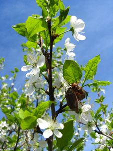 Free The  Cockchafers Flying Above The Blossoming Tree Stock Photography - 28700802