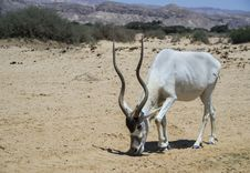 Free Antelope Oryx In Israeli Nature Reserve Near Eilat Stock Photos - 28701033
