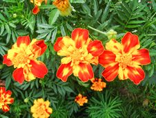 A Beautiful Flower Of Tagetes Stock Images