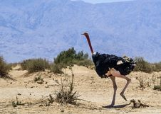 Free Male Of African Ostrich &x28;Struthio Camelus&x29; In Nature Reserve, Israel Royalty Free Stock Photo - 28701085