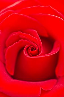 Free Red Rose Close Up Stock Images - 28706104