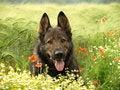 Free German Shepherd In Flowers. Stock Image - 28712681