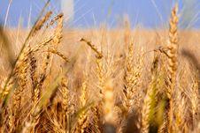 Free Wheat Ripened Stock Photos - 28710583