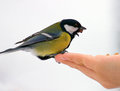 Free Blue Tit Royalty Free Stock Photography - 28723537