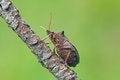 Free Shieldbug Stock Image - 28725411
