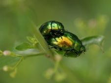 Two Beetles Romping On Plants In The Garden Stock Photography
