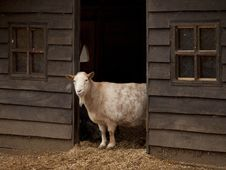 Free Beautiful Stately Goat Stands In Farmers Barn Stock Photo - 28721650