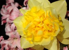 Free Daffodil Royalty Free Stock Photos - 28722048