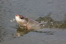 Free Fishing Seven-striped Barb. Royalty Free Stock Images - 28723579