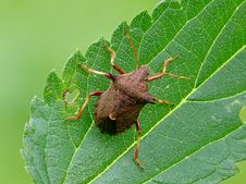 Free Shieldbug Stock Images - 28725424