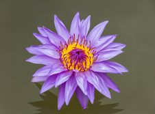 Free The Lotus Color Purple. Royalty Free Stock Photos - 28727748