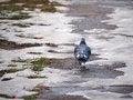 Free Walking Pigeon Royalty Free Stock Images - 28731229
