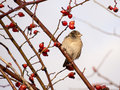Free Sparrow In A Dog Rose Shrub Royalty Free Stock Image - 28731276