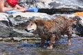 Free Dachshund Standing In Water Stock Photo - 28734390