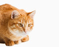 Free Cat Looking Down Isolated On White Royalty Free Stock Photography - 28737327