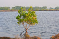 Free Mangrove Royalty Free Stock Images - 28737789