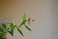 Free Pomegranate Leaf Royalty Free Stock Photos - 28737858