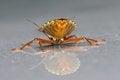 Free Shieldbug Stock Photography - 28739162