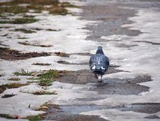 Free Walking Pigeon Royalty Free Stock Images - 28731229