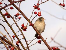 Sparrow In A Dog Rose Shrub Royalty Free Stock Image