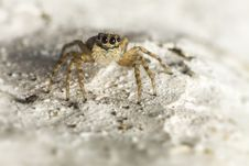 Free Portrait Of A Jumping Spider Royalty Free Stock Images - 28733189