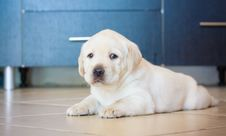Free Labrador Retriever Puppy Playing At Home Stock Photos - 28737553