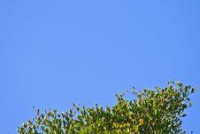 Free Terminalia Ivorensis  Leaf Stock Photo - 28737840