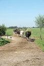 Free Cows Walking Towards The Camera Royalty Free Stock Photography - 28744087