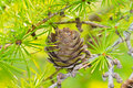 Free Dry Larch Cone And Needles Royalty Free Stock Image - 28745866
