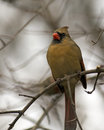 Free Female Cardinal Royalty Free Stock Images - 28746559