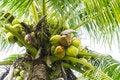 Free Coconut Tree Royalty Free Stock Photo - 28747945