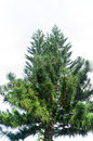 Free Green Pine Royalty Free Stock Images - 28747949