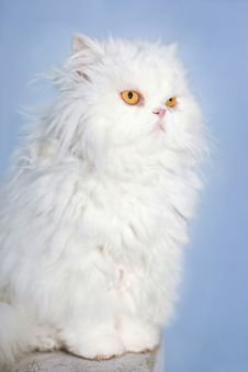 Free White Persian Cat Stock Image - 28744181