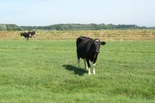 Free Cows In A Meadow Royalty Free Stock Image - 28744336