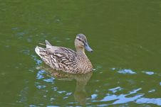 Free Mallard Duck Swimming In The Pond Stock Photo - 28745950