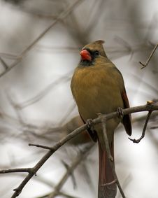 Female Cardinal Royalty Free Stock Images