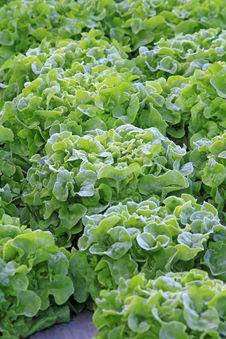 Free Vegetable Garden Royalty Free Stock Photo - 28748745
