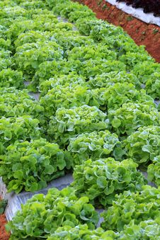 Free Vegetable Garden Royalty Free Stock Photos - 28748758