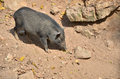 Free Wild Boar In The Wild Nature Royalty Free Stock Photos - 28759158