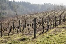 Free Vineyards, Northern Willamette Valley Stock Photos - 28756553