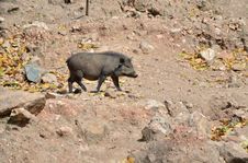 Wild Boar In The Wild Nature Stock Photography