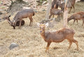 Free Sambar Deer In Forest Royalty Free Stock Photography - 28760287