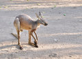 Free Grey Kangaroo Stock Image - 28760821