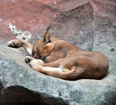 Free Caracal Stock Photos - 28760373